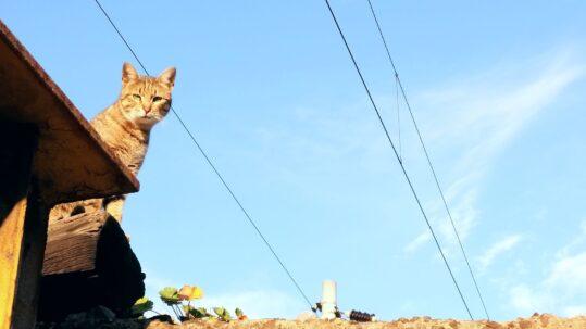 Istanbul katter